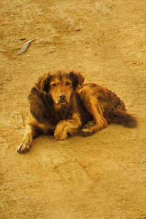 mystery-dog